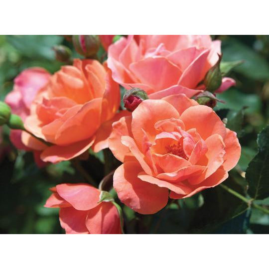 Knock Out Coral Rose Plant - 2 Gallon