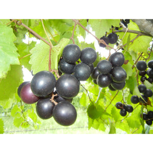 Cowart Muscadine Grape Vine Plant - 1 Gallon - Seed World