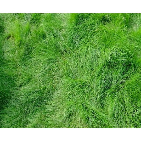 Creeping Red Fescue Grass Seed Festuca Rubra Seed World