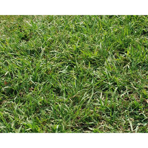 Dallis Grass Pasture Seed