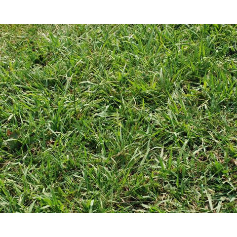 Dallis Grass Pasture Seed - 1 Lb.