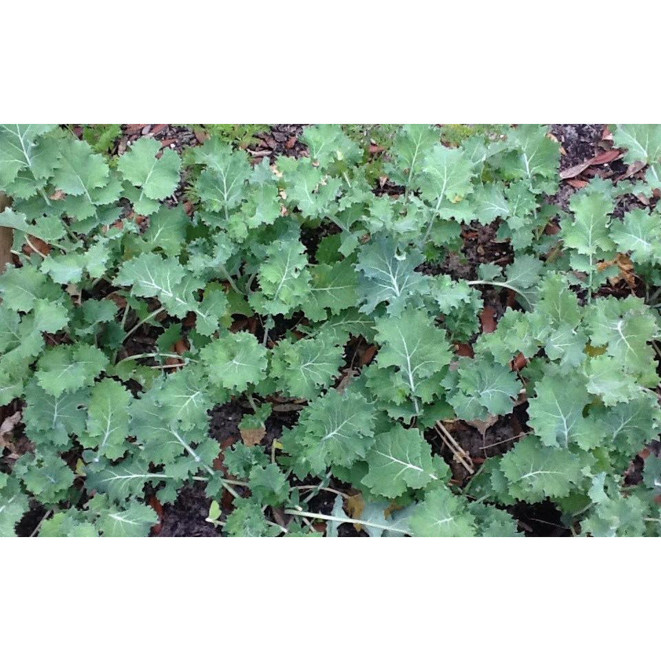 Dwarf Siberian Improved Kale Food Plot Seed - 1 Lb.