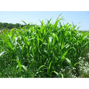 Egyptian-Wheat Food-Plot