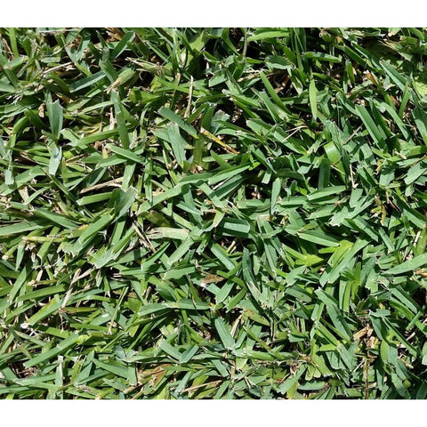 Floratam Grass Plugs - 1 Tray