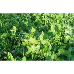 Gallant Red Clover Seed - 1 Lb.