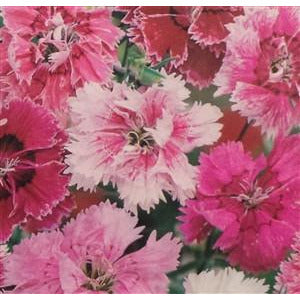 Pinks Dianthus Seed heirloom - 1 Packet - Seed World