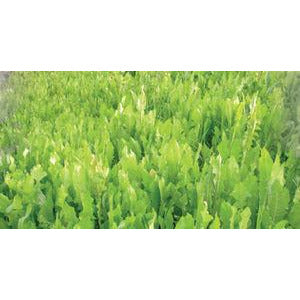 Tecomate Chicory Food Plot Seed - 3 lbs. - Seed World