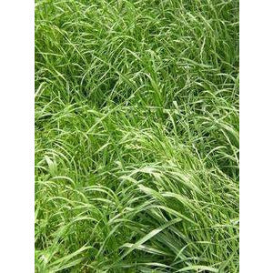 Wrens Abruzzi Winter Rye Grain Seed - 1 Lb.