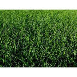Tifquik Bahia Grass Seed (Certified) - 40 Lbs. - Seed World
