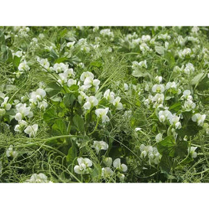 Windham Winter Pea - 1 lb. - Seed World