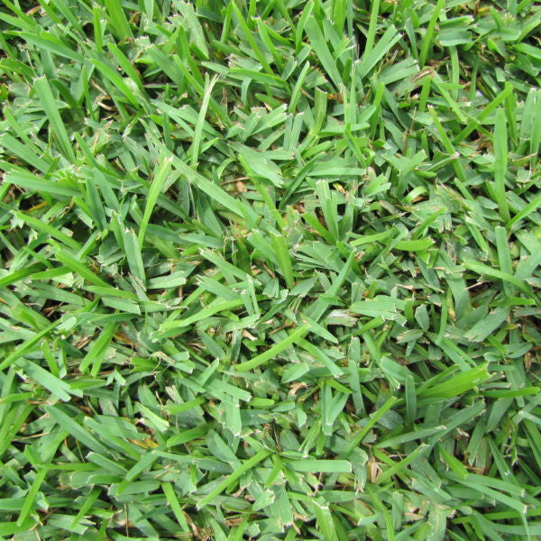 Palmetto St Augustine Grass Plugs - 2 Trays
