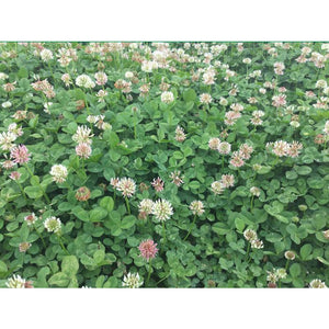 Renovation White Clover Seed - 1 Lb. - Seed World