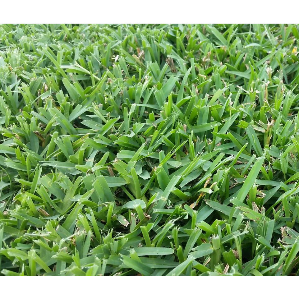 Seville St Augustine Grass Plugs - 2 Trays