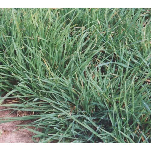 Tekapo Orchard Grass Seed (Certified) - Seed World