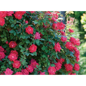 Knock Out Double Red Rose Plant- 1 Gallon - Seed World