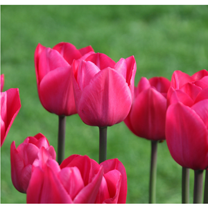 Pink Tulip Plant - Seed World
