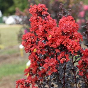Crape Myrtle (Sunset Magic) Plant - 1 Gallon