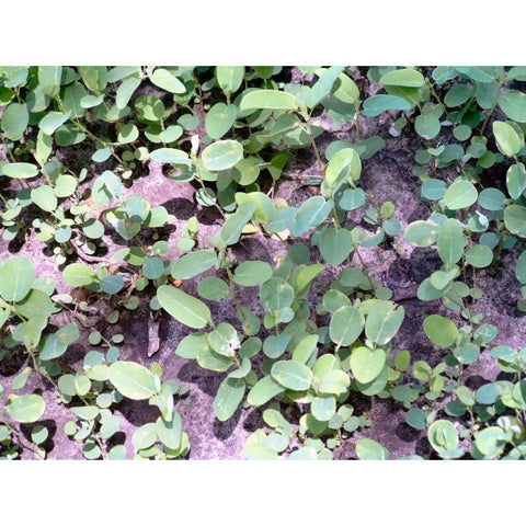 Alyce Clover Seed - 1 Lb.