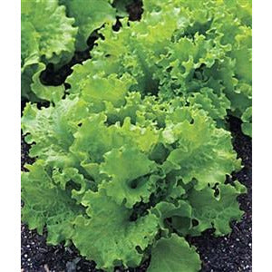Lettuce Black Seeded Simpson Seed Heirloom - 1 Packet