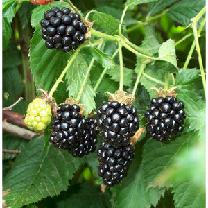 Blackberry Bush Plant - 1 Gallon - Seed World