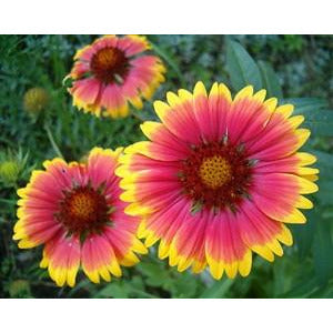 Blanketflower Seed - 1 Packet - Seed World