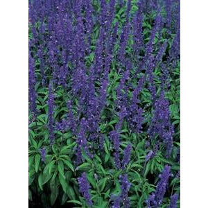 Salvia Blue Bedder Seed - 1 Packet