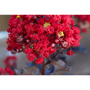 Black Diamond Crape Myrtle (Red Hot) Plant - 1 Gallon - Seed World