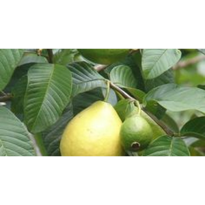 Mexican White Guava Tree Plant - 1 Gallon - Seed World