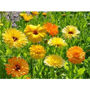 Calendula Pacific Beauty Mix Seed