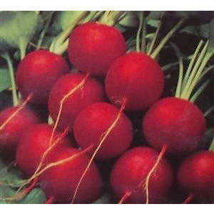 Radish Champion Seed - 1 Packet - Seed World