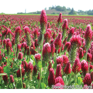 Crimson Clover Seed - 4 Oz. - Seed World