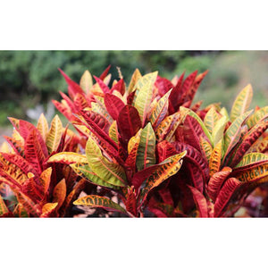 "Croton 10"" Plant - Seed World"