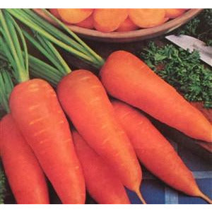 Carrot Danvers Half Long Seed - 1 Packet - Seed World