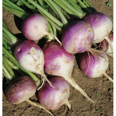 Turnip seed Purple Top White Globe