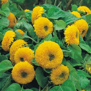 Sunflower Dwarf Sungold Seed - 1 Packet - Seed World