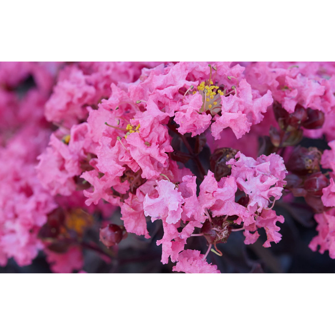 Black Diamond Crape Myrtle (Shell Pink) Plant - 2.25 Gallon