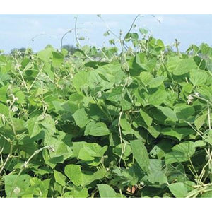 LabLab Food Plot Seed - 1 Lb.