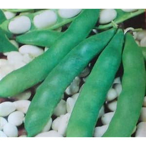 Henderson's Lima Bush Bean Seeds