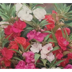 Impatiens Tom Thumb Seed - 1 Packet