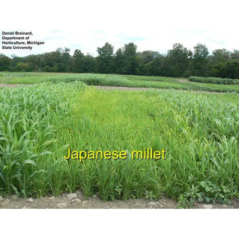 Japanese Millet Seed