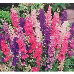 Larkspur regal mix