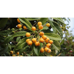 Loquat Fruit Tree - 1 Gallon - Seed World