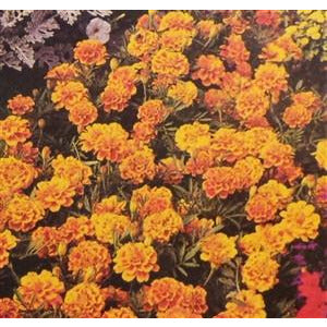 Marigold Sparky Mixed Colors Seed - 1 Packet - Seed World