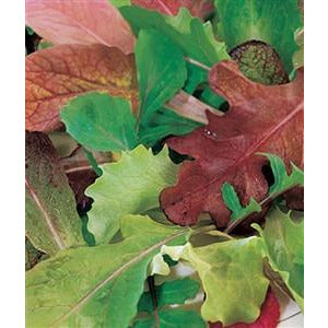 Lettuce Mesclun Blend Seed Heirloom - 1 Packet - Seed World