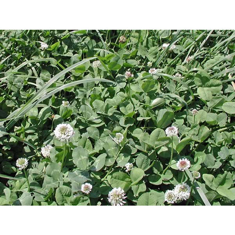 Patriot Clover Seed