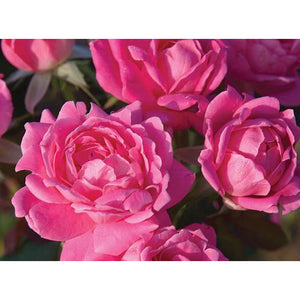 Knock Out Double Pink Rose Plant - 1 Gallon