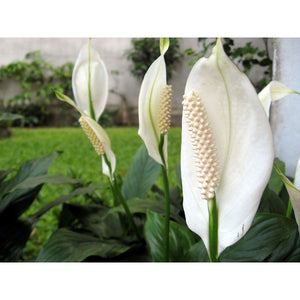 "Peace Lily 8"" Plant - Seed World"