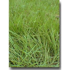 Pensacola Bahia Grass Seed (Coated) - 10 Lbs. - Seed World