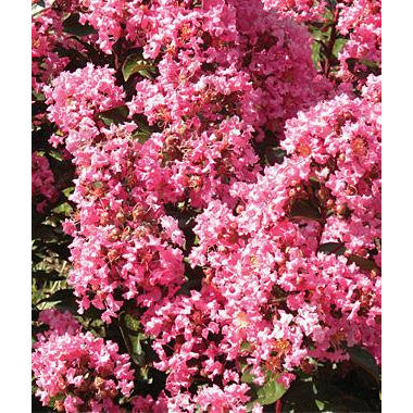 Crape Myrtle (Magic Coral) Plant - 1 Gallon - Seed World