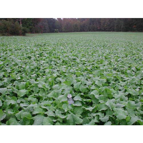 Rape Food Plot